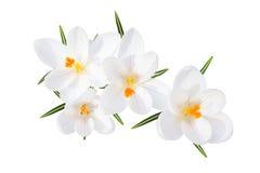 Ο άσπρος κρόκος άνοιξη ανθίζει την απομονωμένη τοπ άποψη Στοκ εικόνα με δικαίωμα ελεύθερης χρήσης