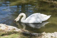 Ο άσπρος κύκνος επιπλέει στη λίμνη, ζωολογικός κήπος της askania-Nova εθνικής επιφύλαξης, Ουκρανία Στοκ Εικόνες