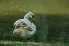Ο άσπρος κύκνος καθαρίζει τα φτερά στενό στον επάνω θερινών αγροτικό όχθεων ποταμού στοκ φωτογραφίες με δικαίωμα ελεύθερης χρήσης