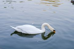 Ο άσπρος κύκνος κολυμπά σε μια λίμνη μόνο closeup στοκ εικόνα