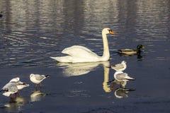 Ο άσπρος κύκνος κολυμπά στη λίμνη πόλεων στοκ φωτογραφία