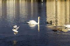 Ο άσπρος κύκνος κολυμπά στη λίμνη πόλεων στοκ εικόνες