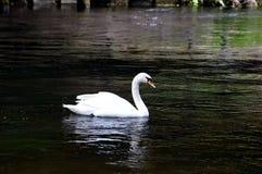 Ο άσπρος κύκνος Στοκ Φωτογραφίες