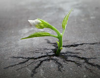 Ο άσπρος νεαρός βλαστός λουλουδιών αναπτύσσει μέσω της ασφάλτου Στοκ φωτογραφίες με δικαίωμα ελεύθερης χρήσης