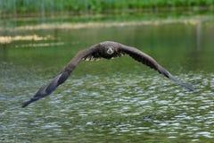 Ο άσπρος παρακολουθημένος αετός κατά την πτήση Στοκ φωτογραφίες με δικαίωμα ελεύθερης χρήσης