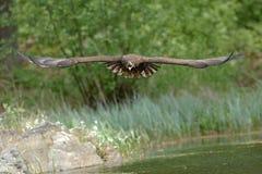 Ο άσπρος παρακολουθημένος αετός κατά την πτήση Στοκ Εικόνες