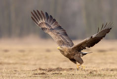 Ο άσπρος-παρακολουθημένος αετός πηγαίνει μακριά Στοκ Φωτογραφίες