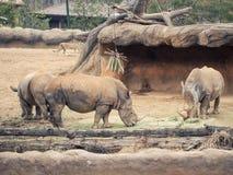 Ο άσπρος ρινόκερος τρία τρώει τα τρόφιμα και πίνει το νερό με τον καφετή βράχο και το φ Στοκ Εικόνα