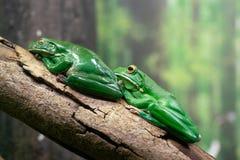 Ο άσπρος-χειλικός βάτραχος δέντρων ή ο γιγαντιαίο βάτραχος δέντρων ή το infrafrenata Litoria από την Αυστραλία σε ένα δέντρο διακ στοκ εικόνες με δικαίωμα ελεύθερης χρήσης