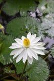 Ο άσπρος λωτός Στοκ εικόνα με δικαίωμα ελεύθερης χρήσης