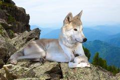 Ο άσπρος λύκος βάζει στην πέτρα Στοκ Εικόνα