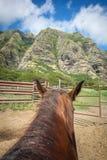 Οδήγηση πλατών αλόγου στη Χαβάη Στοκ Φωτογραφία