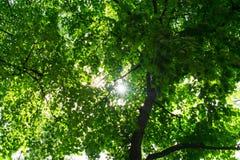 Ο ήλιος κάνει τον τρόπο του μέσω των κλάδων του δέντρου, με τα πράσινα φύλλα, και οι ακτίνες από τον αποκλίνουν υπέροχα σε διαφορ στοκ φωτογραφία