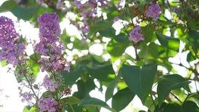 Ο ήλιος λάμπει μέσω των λουλουδιών και των φύλλων του ιώδους θάμνου απόθεμα βίντεο