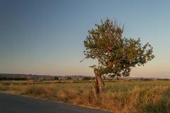 Ο ήλιος το πετά χρυσό φως ` s σε ένα απομονωμένο σταματημένο δέντρο στην ανατολή στοκ εικόνες