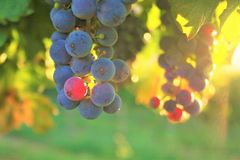 Ο ήλιος λάμπει μέσω των σταφυλιών κρασιού στοκ εικόνες