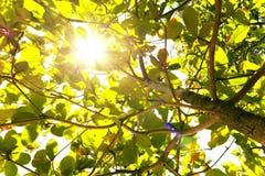 Ο ήλιος λάμπει μέσω των φύλλων κατά ανατρέχοντας Στοκ φωτογραφία με δικαίωμα ελεύθερης χρήσης