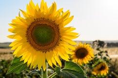 Ο ήλιος ανθίζει τον τομέα στην Ισπανία Στοκ Εικόνες