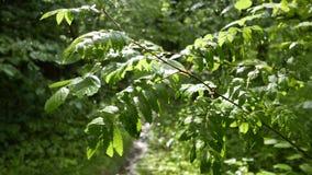 Ο ήλιος, η βροχή και ο αέρας παίζουν με τα πράσινα φύλλα φιλμ μικρού μήκους