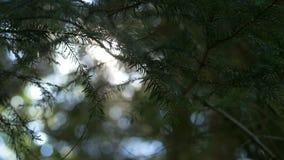 Ο ήλιος ξημερωμάτων εμφανίζεται μέσω των δέντρων πεύκων στην ανατολή απόθεμα βίντεο