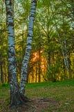 Ο ήλιος ρύθμισης, το δάσος και η σημύδα Στοκ φωτογραφία με δικαίωμα ελεύθερης χρήσης