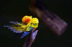 Ο ήλιος parakeet καθαρίζει Στοκ φωτογραφία με δικαίωμα ελεύθερης χρήσης