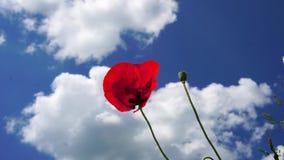 Ο αέρας παίζει ευγενή με ένα απίστευτα όμορφο λουλούδι παπαρουνών σε έναν τομέα στον κοντινό του Μόναχου στη Βαυαρία Γερμανία απόθεμα βίντεο