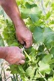 ο αγρότης δίνει την άμπελο νεαρών βλαστών του s Στοκ Εικόνες