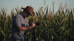 Ο αγρότης στέκεται στον τομέα του καλαμποκιού και ελέγχει τη συγκομιδή η έννοια της γεωργικής επιχείρησης φιλμ μικρού μήκους