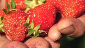 ο αγρότης στους φοίνικές του παρουσιάζει κόκκινες φράουλες με την κιν απόθεμα βίντεο