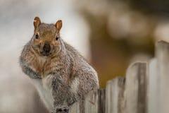 Ο αγώνας πλήγωσε το σκίουρο Στοκ Εικόνες