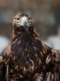 Ο αετός εξετάζει με μια αυστηρή ένταση Στοκ φωτογραφία με δικαίωμα ελεύθερης χρήσης
