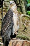 Ο αετός με ένα πόδι θέτει Στοκ εικόνα με δικαίωμα ελεύθερης χρήσης