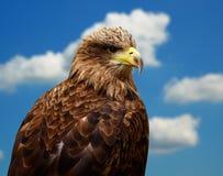 ο αετός παρακολούθησε το λευκό Στοκ Εικόνες