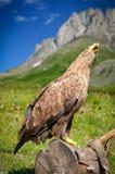ο αετός παρακολούθησε το λευκό Στοκ εικόνες με δικαίωμα ελεύθερης χρήσης