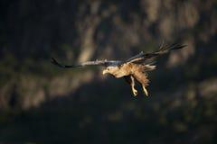 ο αετός παρακολούθησε το λευκό Στοκ φωτογραφίες με δικαίωμα ελεύθερης χρήσης