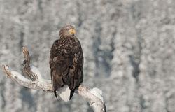 ο αετός παρακολούθησε το λευκό Στοκ Φωτογραφία