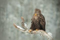 ο αετός παρακολούθησε το λευκό Στοκ φωτογραφία με δικαίωμα ελεύθερης χρήσης
