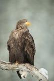 ο αετός παρακολούθησε το λευκό Στοκ Φωτογραφίες
