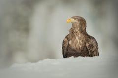 ο αετός παρακολούθησε το λευκό Στοκ εικόνα με δικαίωμα ελεύθερης χρήσης