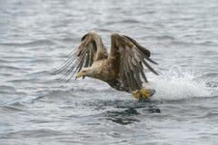 ο αετός παρακολούθησε &ta Στοκ εικόνα με δικαίωμα ελεύθερης χρήσης