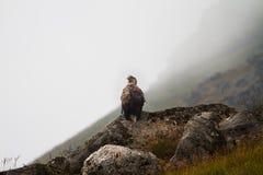 ο αετός παρακολούθησε &ta Στοκ Εικόνα
