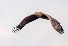 ο αετός παρακολούθησε &ta Στοκ Φωτογραφίες