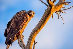 Ο αετός στεπών ή το nipalensis Aquila κάθεται σε ένα δέντρο Στοκ Φωτογραφίες