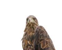 Ο αετός στεπών Στοκ Εικόνα