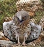 Ο αετός φιδιών κοντός-Toed διαδίδει τα φτερά του Στοκ εικόνα με δικαίωμα ελεύθερης χρήσης