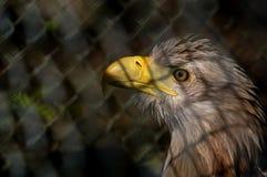 Ο αετός Στοκ φωτογραφίες με δικαίωμα ελεύθερης χρήσης