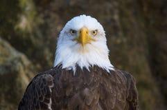 Ο αετός Balb κοιτάζει επίμονα Στοκ Εικόνα