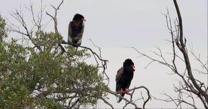Ο αετός Bateleur, ecaudatus terathopius, ζευγάρι εσκαρφάλωσε στην κορυφή του δέντρου, πάρκο Masai Mara στην Κένυα, φιλμ μικρού μήκους