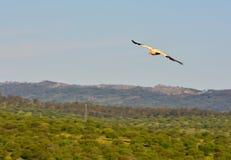 Ο αιγυπτιακός γύπας με τα φτερά Στοκ Εικόνες